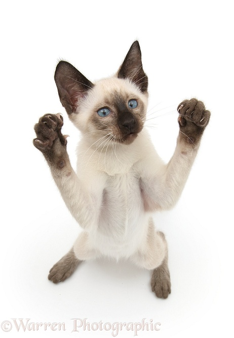 Siamese kitten, 10 weeks old, reaching up, white background
