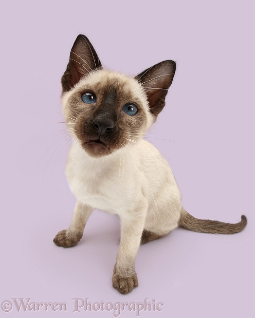 Siamese kitten, 10 weeks old, looking up, white background