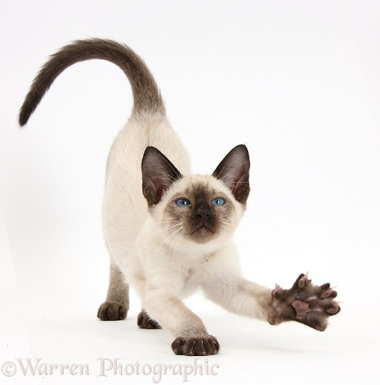 Siamese kitten, 10 weeks old, stretching, white background