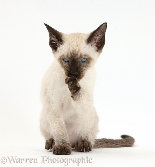 Siamese kitten, 10 weeks old, washing a paw, white background