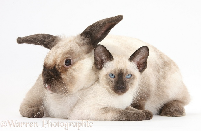 Colourpoint rabbit and Siamese kitten, 10 weeks old, white background