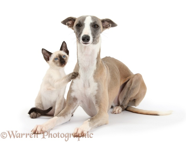 Whippet bitch, Tally, and Siamese kitten, 10 weeks old, white background