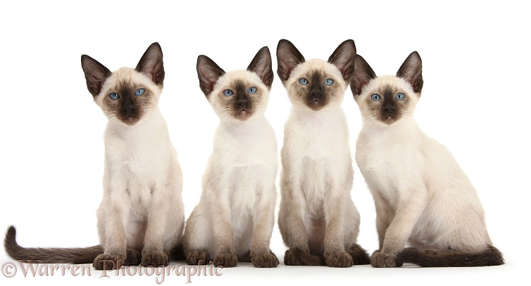Four Siamese kittens, 10 weeks old, white background