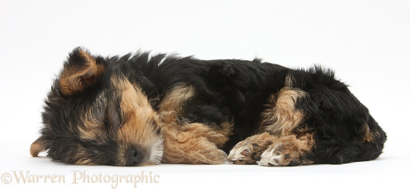 Yorkshire Terrier-cross pup, Evie, 8 weeks old, asleep, white background