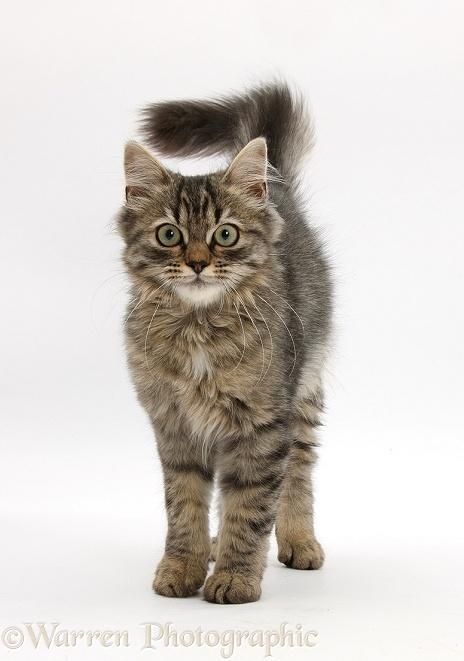 Tabby kitten, Beebee, 5 months old, standing, white background