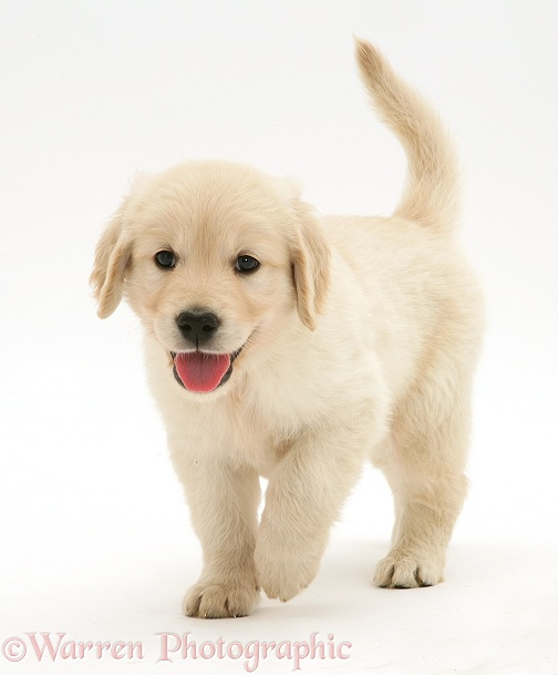 Golden Retriever puppy running forward, white background
