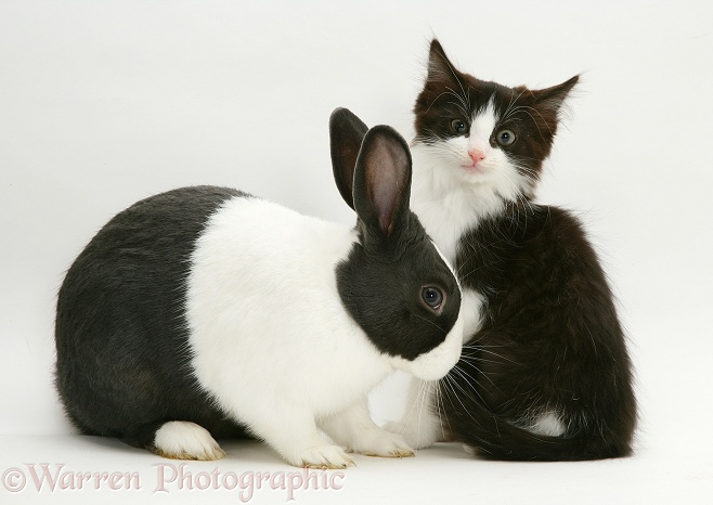 Black Dutch rabbit with black-and-white kitten, Felix, white background