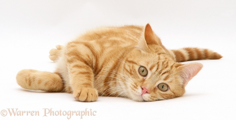 Young red tabby cat, Benedict, 7 months old, lying on his side, white background