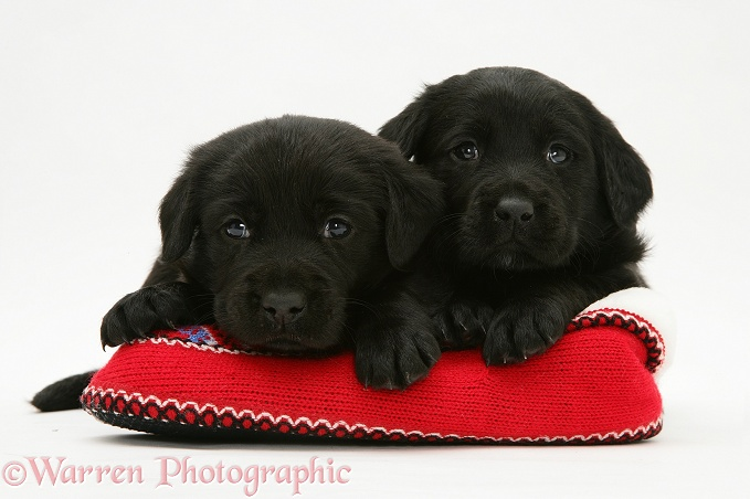 Two Black Labrador Retriever puppies in a knitted slipper, white background