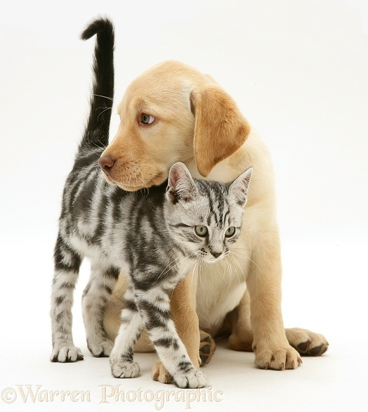Yellow Labrador Retriever pup with silver tabby kitten, white background