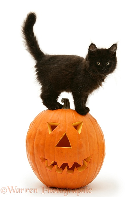 Black Maine Coon kitten with Halloween pumpkin, white background