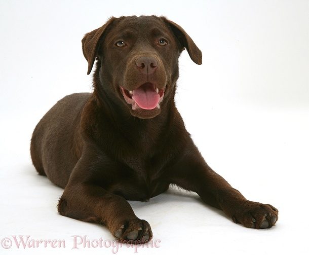 Chocolate Labrador Retriever, Mocha, 7 months old, white background