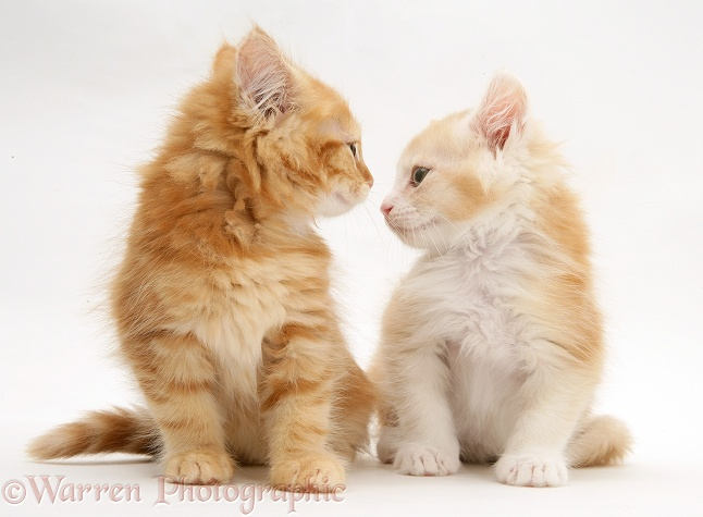 Ginger Maine Coon kittens, white background