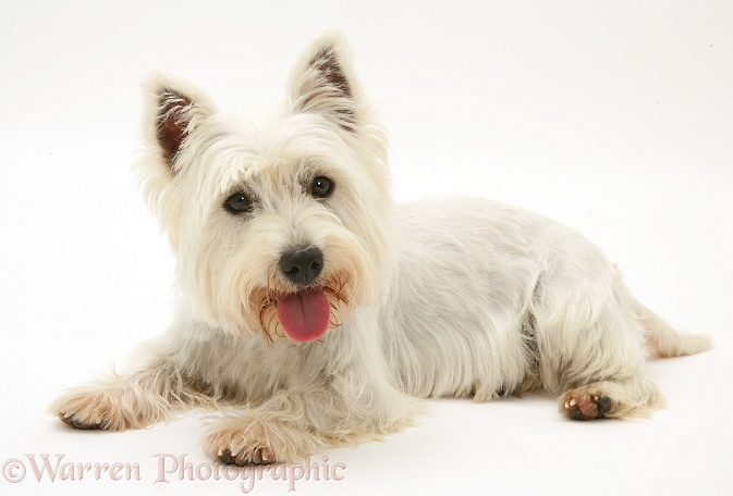 West Highland White Terrier lying with head up, white background