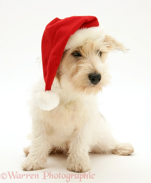 Mongrel dog, Mutley, wearing a Father Christmas hat, white background
