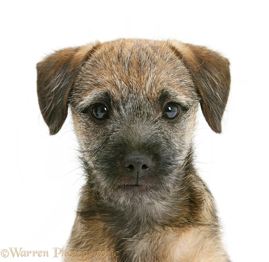 Border Terrier bitch pup, Kes, white background