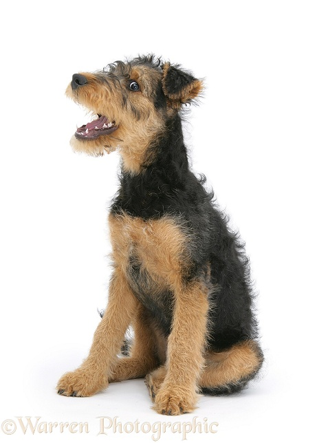 Airedale Terrier bitch pup, Molly, 3 months old, sitting, white background