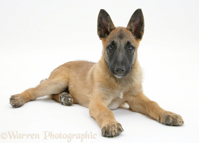 Belgian Shepherd Dog pup, Antar, 10 weeks old, lying with head up, white background