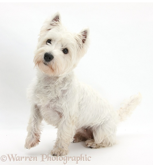 West Highland White Terrier, Betty, sitting and looking inquisitive, white background