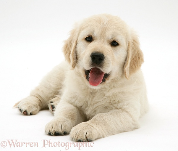 Golden Retriever pup, 9 weeks old, lying with head up, white background