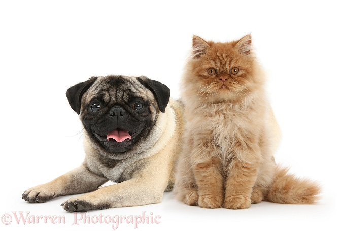 Ginger Persian male kitten, Jeffrey, 15 weeks old and fawn male Pug, white background