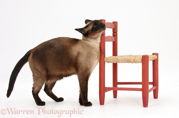 Seal point Siamese-cross cat, Chico, scent rubbing against a child's chair, white background