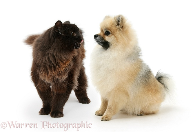 Pomeranian dog, Rikki, meets rough chocolate cat, Scruffy, white background