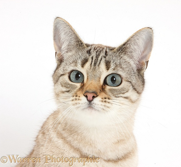 Sepia Snow Bengal-cross female cat, Lilli, 3 years old, white background