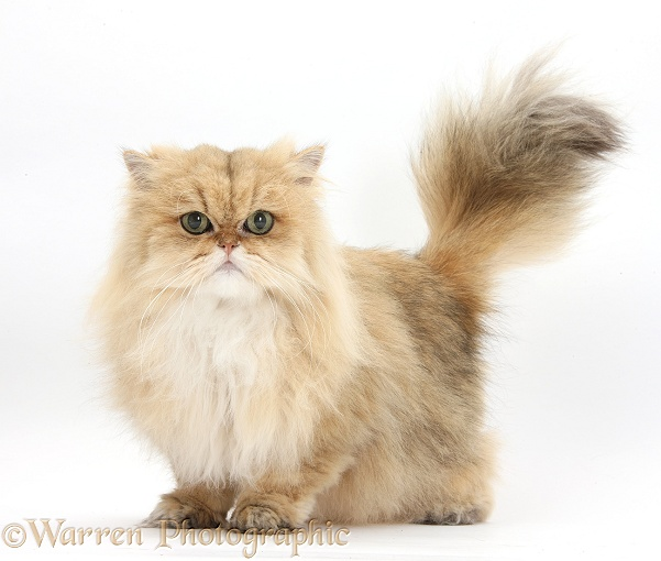 Golden Chinchilla Persian female cat, Jazzy, 6 years old, white background