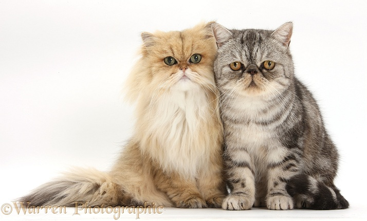Golden Chinchilla Persian female cat, Jazzy, 6 years old, with Silver tabby Exotic male cat, Bugsie, 5 years old, white background