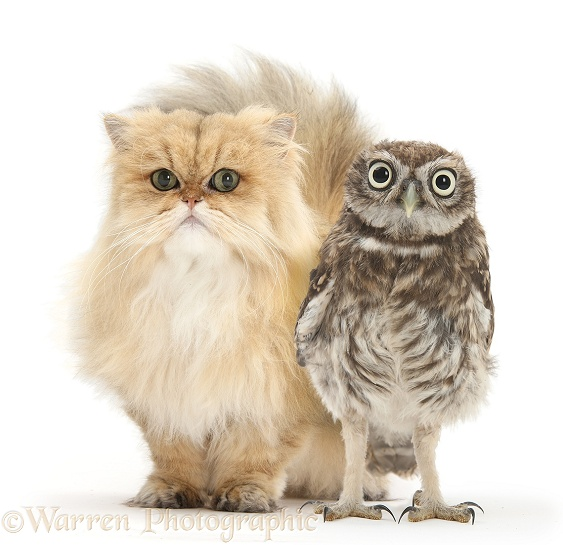 Golden Chinchilla Persian female cat, Jazzy, 6 years old, with a Little Owl (Athene noctua), white background