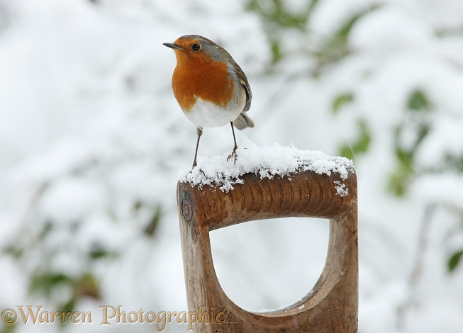 European Robin (Erithacus rubecula) on a snowy fork handle