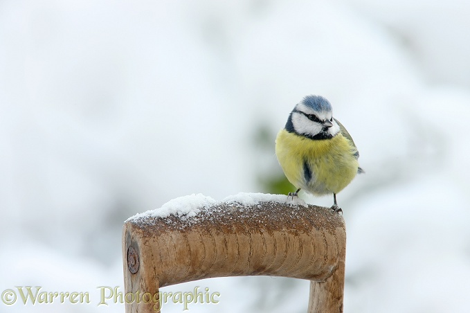 Blue Tit (Parus caeruleus) on a snowy spade handle