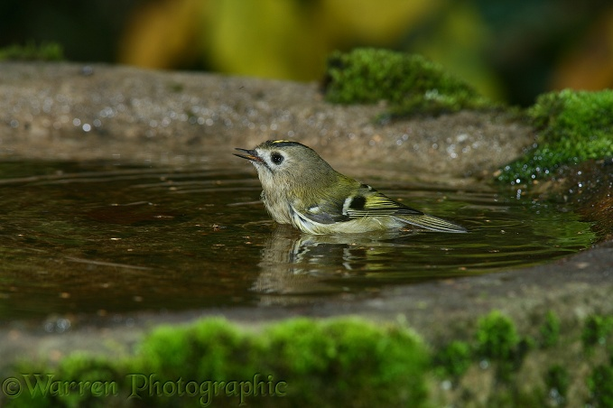 Goldcrest (Regulus regulus) bathing.  Europe including Britain