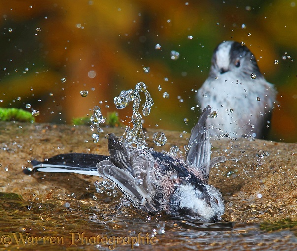 Long-tailed Tits (Aegithalos caudatus) communal bathing.  Europe & Asia