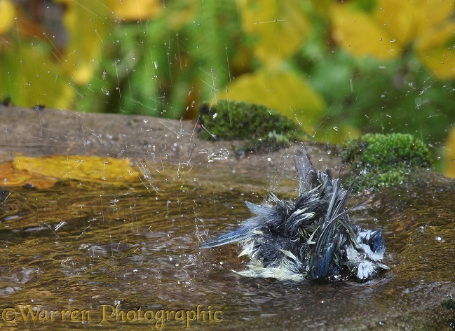 Blue Tit (Parus caeruleus) bathing.  Europe including Britain
