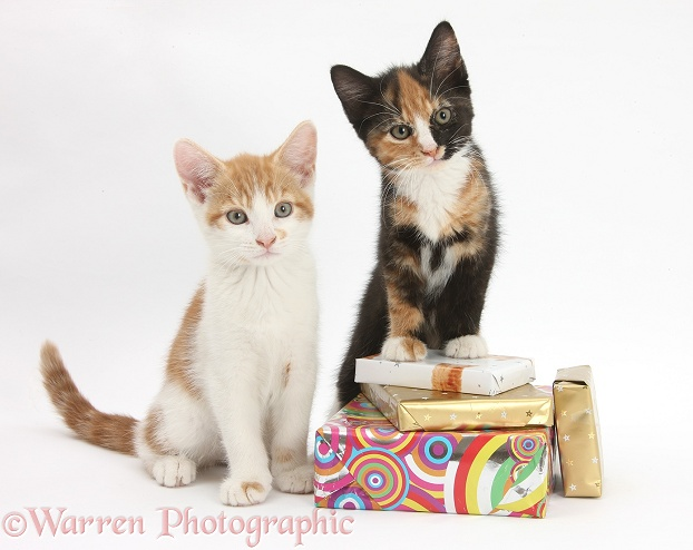 Ginger-and-white and tortoiseshell kittens on birthday parcels, white background