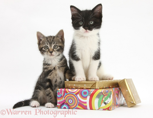 Kittens on birthday parcels, white background