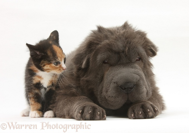 Blue Bearcoat Shar Pei pup, Luna, 13 weeks old, with tortoiseshell kitten, white background