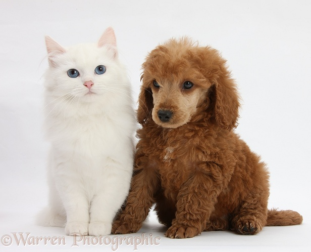 Apricot miniature Poodle pup, Ruebin, 8 weeks old, with white Maine Coon-cross kitten, white background
