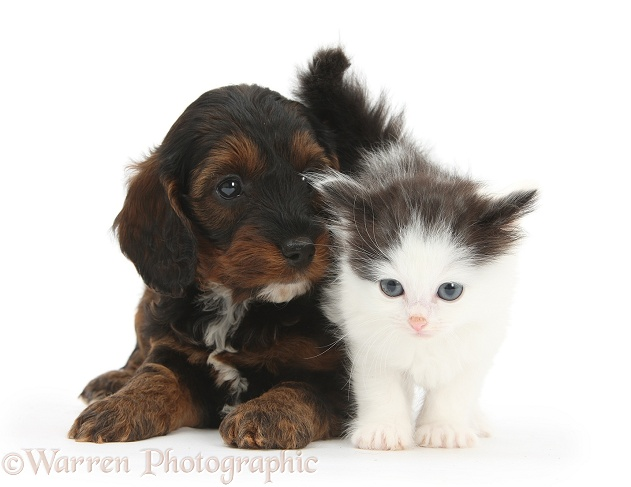 Cockapoo pup and black-and-white kitten, white background