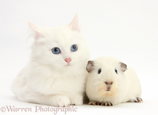 White Maine Coon-cross kitten with white Guinea pig, white background