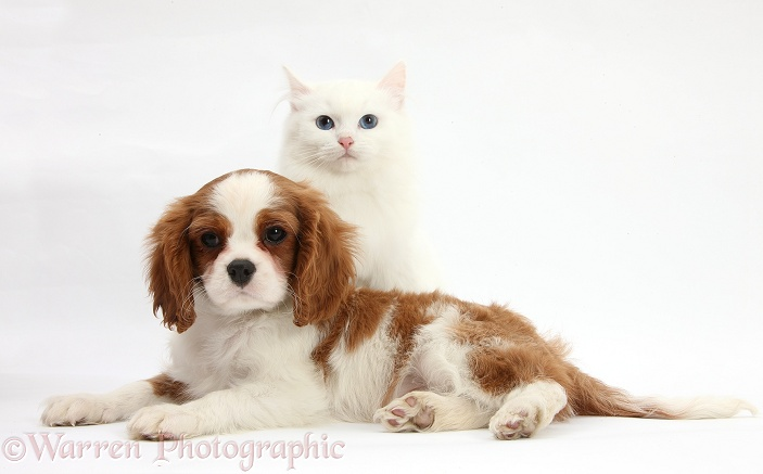Blenheim Cavalier King Charles Spaniel pup, Harvey, 11 weeks old, with white Maine Coon-cross kitten, white background