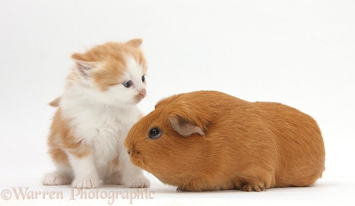 Ginger-and-white kitten with red Guinea pig, white background