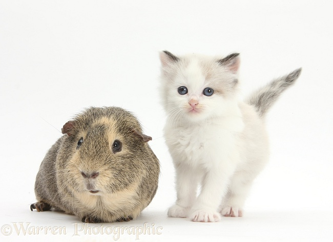 Colourpoint kitten and Guinea pig, white background