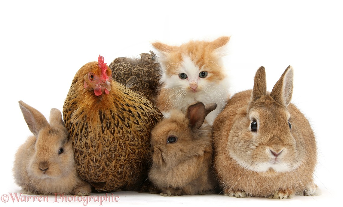 Partridge Pekin Bantam with ginger-and-white kitten, sandy Netherland dwarf-cross rabbit, Peter, and baby Lionhead cross rabbits, white background