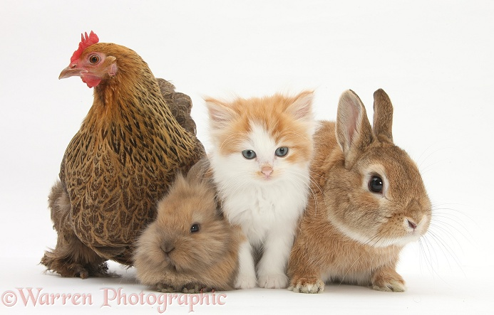 Partridge Pekin Bantam with ginger-and-white kitten, sandy Netherland dwarf-cross rabbit, Peter, and baby Lionhead cross rabbit