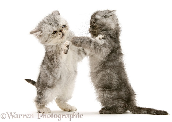 Smoke and silver Exotic shorthair kittens, play-fighting, white background