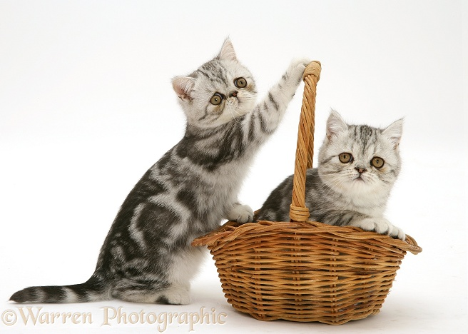 Silver tabby Exotic kittens playing with a wicker basket, white background