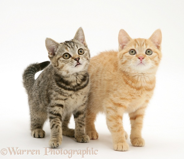 Ginger and brown spotted kittens, white background